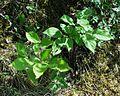 Prunus brigantiaca 29072004.JPG