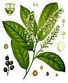 Prunus laurocerasus - Köhler–s Medizinal-Pflanzen-249.jpg