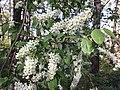 Prunus padus subsp. padus sl10.jpg
