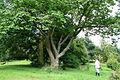 Prunus sargentii JPG1a.jpg