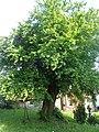 Prunus sp. Gerabronn 2015.jpg