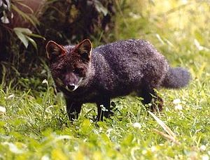 Chiloé Archipelago - Darwin's fox (Lycalopex fulvipes) is endemic to Chiloé and Nahuelbuta Range.