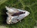 Pseudopostega crepusculella (26302845197).jpg