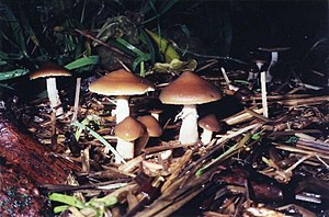 Psilocybin mushroom - Psilocybe subaeruginascens