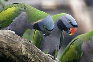 Lord Derby's parakeet - A pair at Wilhelma Zoo, Germany