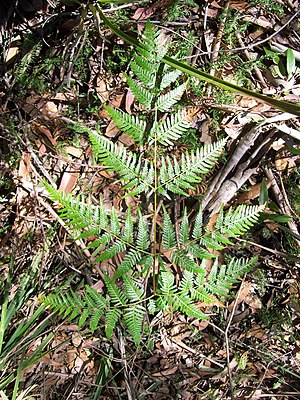 Pteridium esculentum - Bracken at Chatswood West, Australia