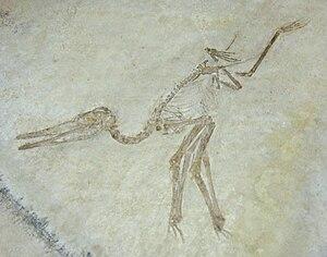 Aurorazhdarcho - Specimen formerly referred to Pterodactylus longirostris, Muséum national d'histoire naturelle in Paris