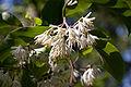 Pterosyrax corymbosus fleurs2.jpg