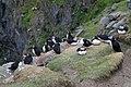 Puffins (Fratercula arctica) - geograph.org.uk - 942063.jpg
