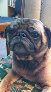 File:Pug reverse sneezing after a bath.ogv