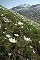 Pulsatilla alpina nel Parco Nazionale del Gran Paradiso.jpg