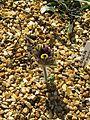 Pulsatilla ex pratensis nigricans - Flickr - peganum.jpg