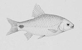 Cuchia, Monopterus cuchia (Hamilton, 1822)