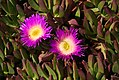 Purple Ice Plant Flowers (2627006551).jpg