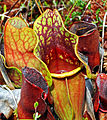 Purple Pitcher Plant (Sarracenia purpurea) (7515421274).jpg