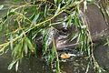 Pygmy Hippo Hiding (17840690819).jpg