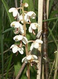 Pyrola rotundifolia LT