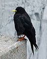 Pyrrhocorax graculus -Bird on the Säntis.jpg