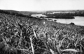 Queensland State Archives 1935 Tweed River near Barneys Point from Sexton Hill sugarcane in foreground c 1934.png