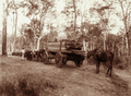 Queensland State Archives 2464 Sawn timber on bullock team from sawmill 1894.png