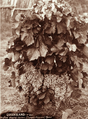 Queensland State Archives 2519 Vine showing clusters of grapes at Zumpes Vineyard Roma c 1898.png