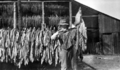 Queensland State Archives 4355 Drying tobacco Texas Southern Queensland c 1930.png
