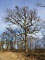 Quercus petraea (s. lat.) sl18.jpg