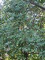 Quercus phillyraeoides2.jpg