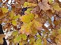 Quercus pyrenaica xQ.canariensis Leaves 2009December13 DehesaBoyaldePuertollano.jpg