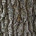 Quercus virginiana bark 1 LR.jpg
