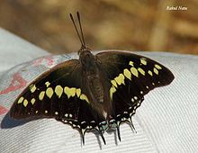 RN032 Charaxes fabius UP.jpg