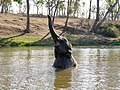 Raghu Juvenile Camp Elephant Bathing Trunk Theppakadu Mudumalai Mar21 A7C 00629.jpg