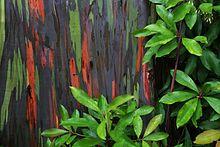 Bark Of E Deglupta Or Rainbow Eucalyptus In A Grove Trees On Maui Hawaii