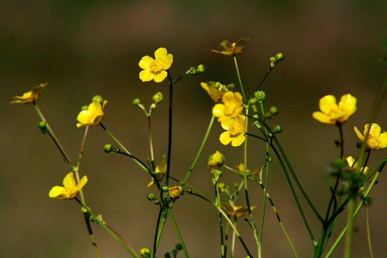 Ranunculus acris ENBLA02.JPG
