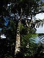Rasamala (Altingia excelsa Noronha).jpg