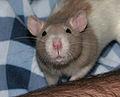 Rat whiskers 1.jpg