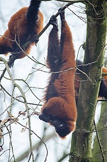 red ruffed lemur hanging by its feet from a small branch while feeding