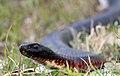 Red-bellied Black Snake (Pseudechis porphyriacus) (8398223358).jpg