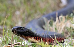 Red-bellied Black Snake (Pseudechis porphyriacus) (8398223358).jpg