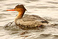 Red-breasted Merganser, female, Ottawa.jpg