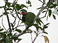 Red-cheeked Parrot (2880009470).jpg