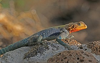 Agama (lizard) - Image: Red headed rock agama (Agama agama) male