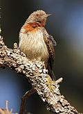 Red-throated Wryneck, Jynx ruficollis at Rietvlei Nature Reserve, Gauteng, South Africa (14564203969).jpg