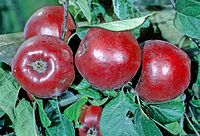 Red Geeveston Fanny on tree, National Fruit Collection (acc. 1970-020).jpg