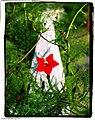 Red Hummingbird Vine - Flickr - pinemikey.jpg