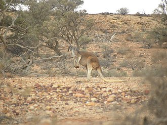 Red kangaroo - Red kangaroo in an arid environment