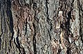 Red Maple Acer rubrum (32-0877-A) Trunk Bark.JPG