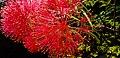 Red Mimosa At Summer.jpg