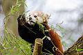 Red Panda (24438560321).jpg