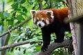 Red Panda (26961846557).jpg